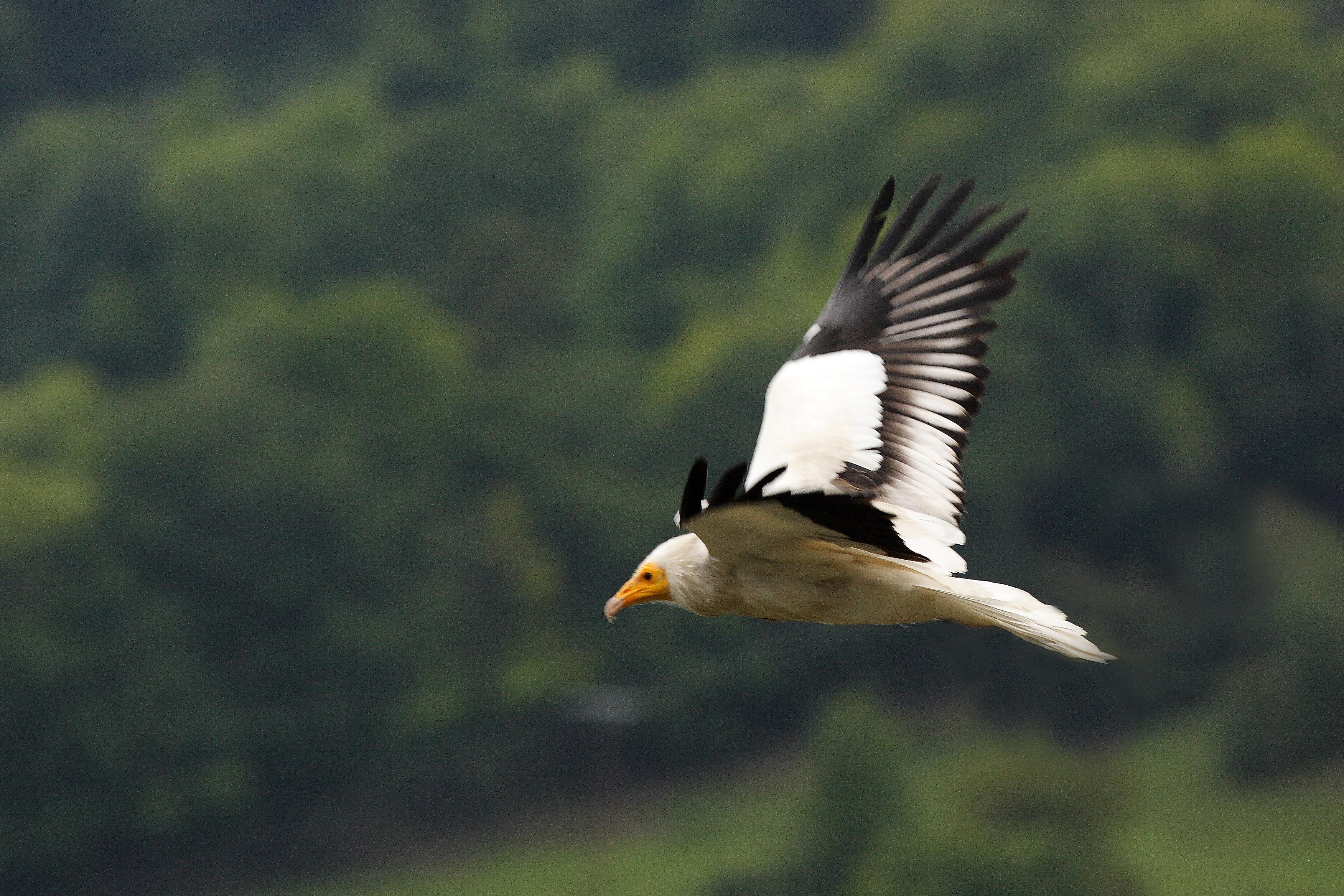 Le vautour percnoptère suivi à la trace…