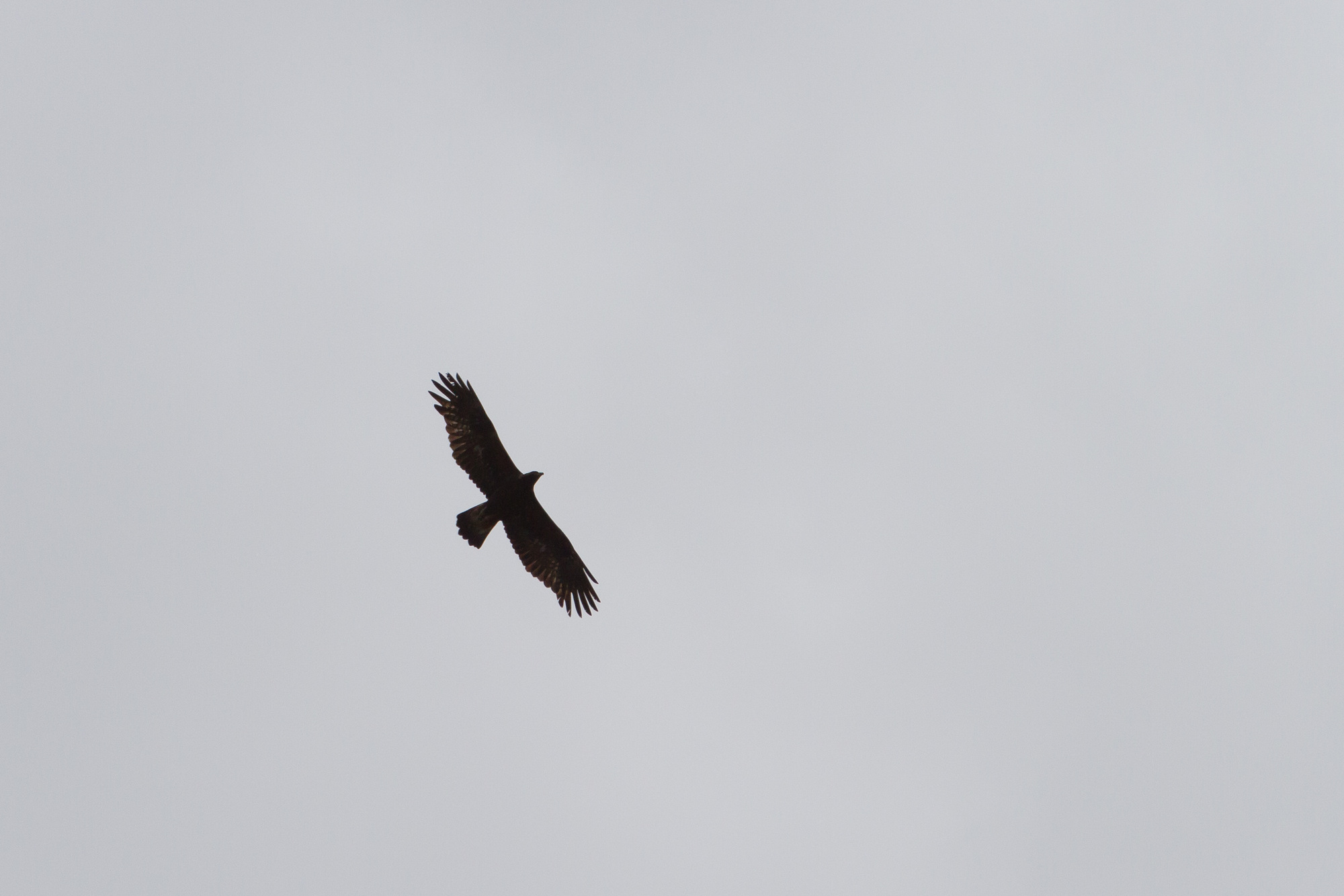 2013, une année singulière pour la reproduction de l'Aigle royal en Pays Basque Nord