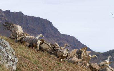 Premiers résultats du suivi de reproduction du vautour fauve au Pays Basque nord en 2014