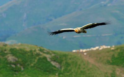 Des nouvelles du suivi télémétrique des vautours percnoptères